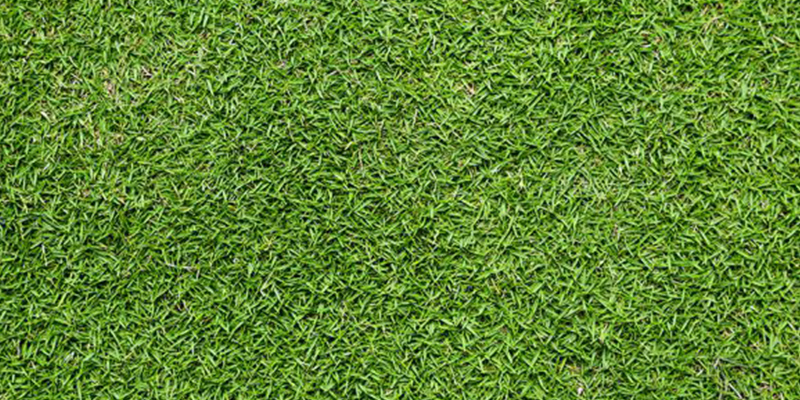 Brisbane Turf Varieties Sir Walter Palmetto Wintergreen